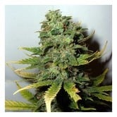 Super Skunk (Nirvana Seeds) feminized