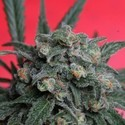 A-Train (T.H. Seeds) feminized