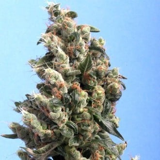 Kushage (T.H. Seeds) feminized
