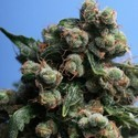 Sage 'N Sour (T.H. Seeds) feminized