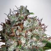 Big Bud XXL (Ministry of Cannabis) feminized