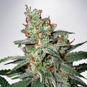 Carnival (Ministry of Cannabis) feminized