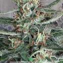 Crystal Cloud (Ministry of Cannabis) feminized