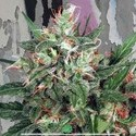 Early XXX (Ministry of Cannabis) feminized