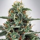 White Widow (Ministry of Cannabis) feminized