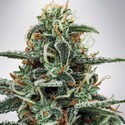 White Widow (Ministry of Cannabis) feminized