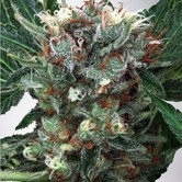 Zensation (Ministry of Cannabis) feminized