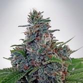 Auto Blue Amnesia (Ministry of Cannabis) feminized