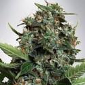 Autopilot XXL (Ministry of Cannabis) feminized