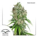 Outlaw Amnesia (Dutch Passion) feminized