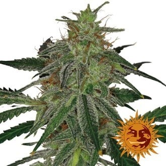 Blue Mammoth Auto (Barney's Farm) feminized