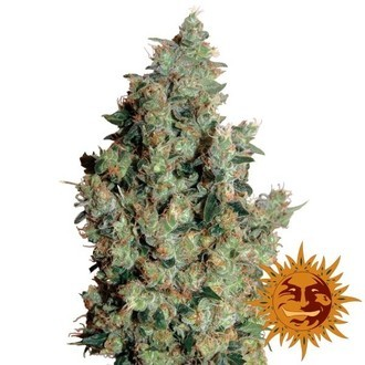 Tangerine Dream (Barney's Farm) feminized