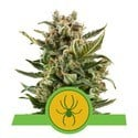White Widow Automatic (Royal Queen Seeds) gefeminiseerd
