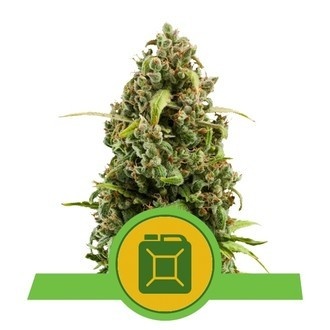 Diesel Automatic (Royal Queen Seeds) feminized