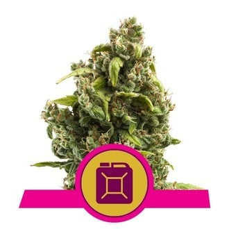 Sour Diesel (Royal Queen Seeds) feminized
