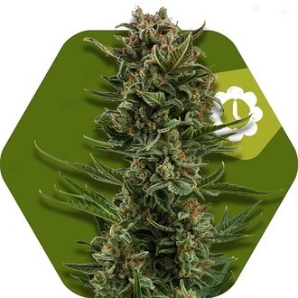 White Widow XL Autoflowering (Zambeza) feminized