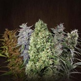 ACE Mix (ACE Seeds) feminized