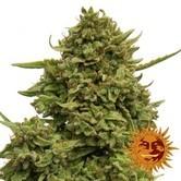 Pineapple Chunk (Barney's Farm) gefeminiseerd