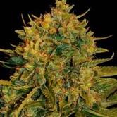 Northern Light x Big Bud Auto (World Of Seeds) feminisiert