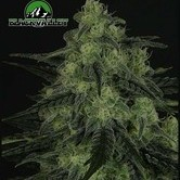 Black Valley (Ripper Seeds) feminisiert