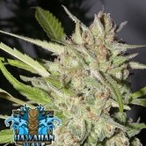 Hawaiian Wave (Ripper Seeds) feminized