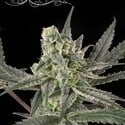 Old School (Ripper Seeds) feminized