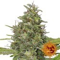G13 Haze (Barney's Farm) feminized