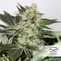 CBD Skunkhaze (Dutch Passion) feminized