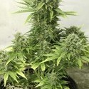 StarRyder (Dutch Passion) feminized