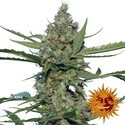 Laughing Buddha (Barney's Farm) feminized
