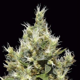 Northern (CBD Seeds) feminized