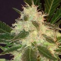 Widow (CBD Seeds) feminized