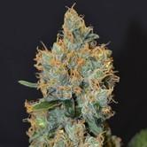 Lavender (CBD Seeds) feminized