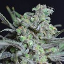 Critical (CBD Seeds) feminized