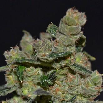 Diesel (CBD Seeds) feminized