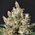 Kali (CBD Seeds) feminized