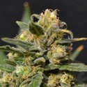 Auto Northern (CBD Seeds) feminized