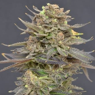 Magma (CBD Seeds) feminized