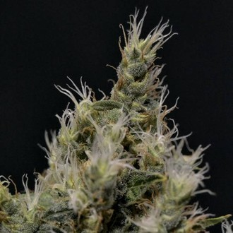 Vanilla Haze (CBD Seeds) feminized