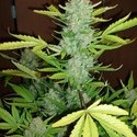Auto Blueberry Kush (Makka Seeds) feminized