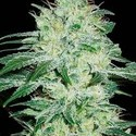 Orient Automatic (Blimburn Seeds) feminized