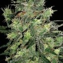 AK Automatic (Blimburn Seeds) feminized