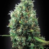 Tijuana (Blimburn Seeds) feminized