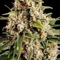 Orka (Blimburn Seeds) feminized