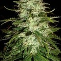 Cr+ (Blimburn Seeds) feminized
