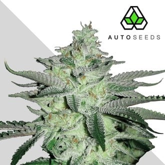 Diesel Berry (Auto Seeds) feminized
