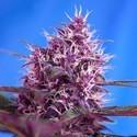 Red Poison Auto (Sweet Seeds) feminized