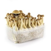 100% Mycelium Kit 'McKennaii' (Supa Gro)