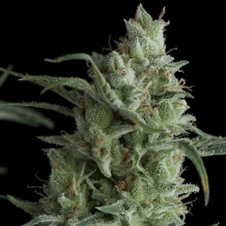 Kryptonite (Pyramid Seeds) feminized
