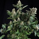 White Widow (Pyramid Seeds) feminized